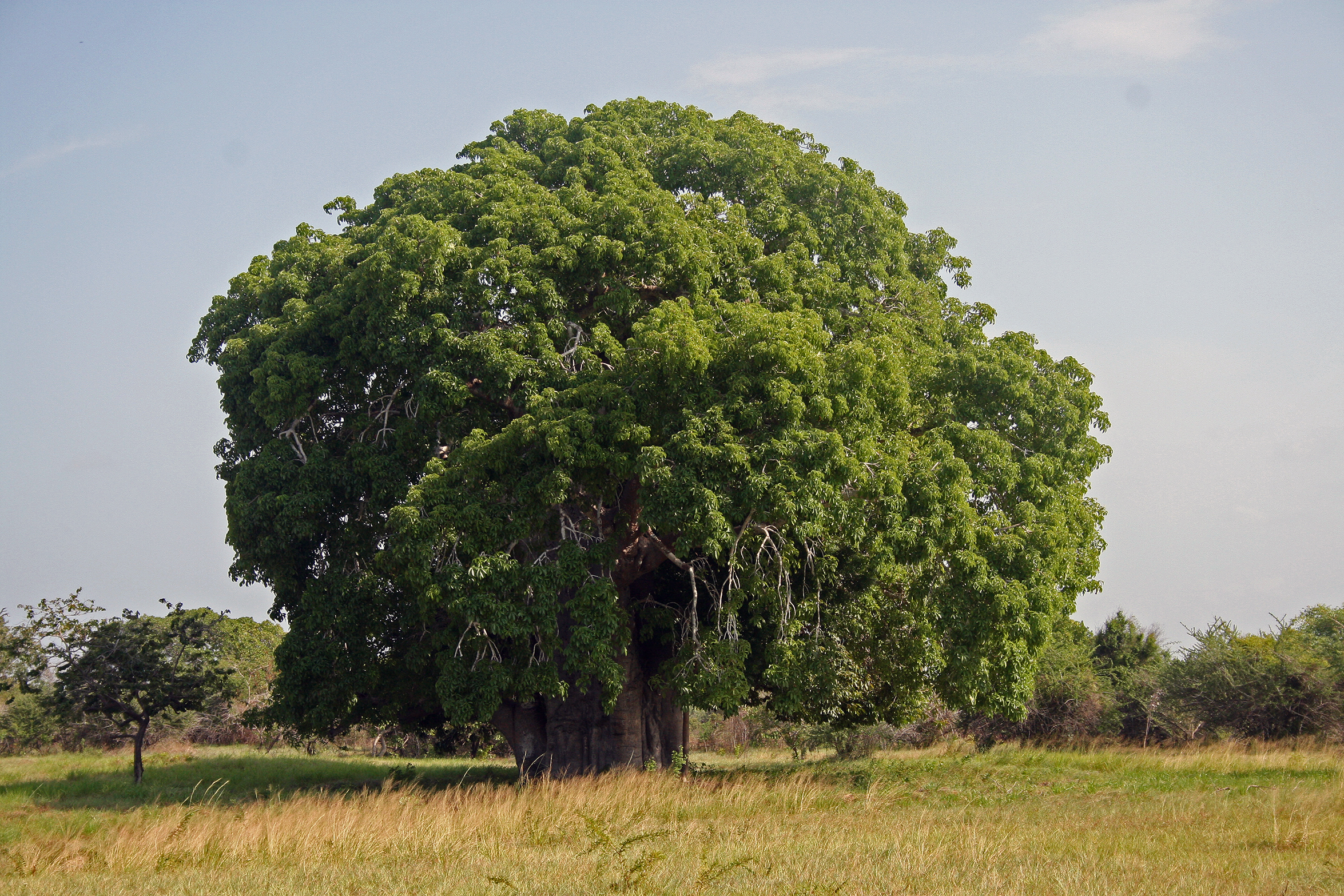 Baobab (Adansonia digitata) in Bagamoyo, Tanzania. Photo taken by Muhammad Mahdi Karim on January 9, 2009