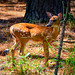 Baby Deer along Island Road - Jamestown VA
