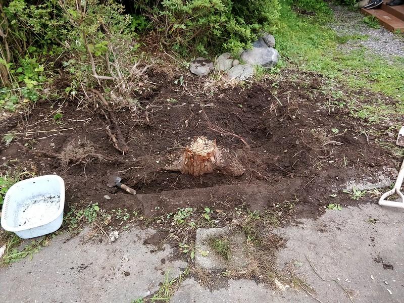 巨木の根を引き抜く (1)