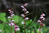 Photo:Pyrola asarifolia subsp. incarnata  ベニバナイチヤクソウ By ashitaka-f studio k2