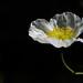White Iceland Poppy by Durley Beachbum