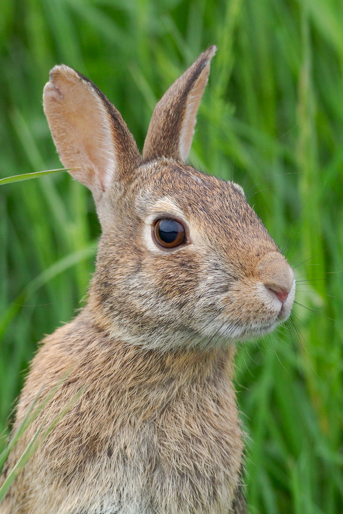 A close-up view of an eastern cottontail near the auto tour at Ridgefield National Wildlife Refuge