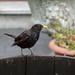 Blackbird, 2018 Jul 12 -- photo 2