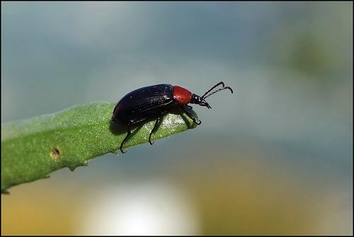 Escaravelho-do-pescoço-vermelho (Heliotaurus ruficollis) -