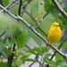 Yellow warbler -20-7