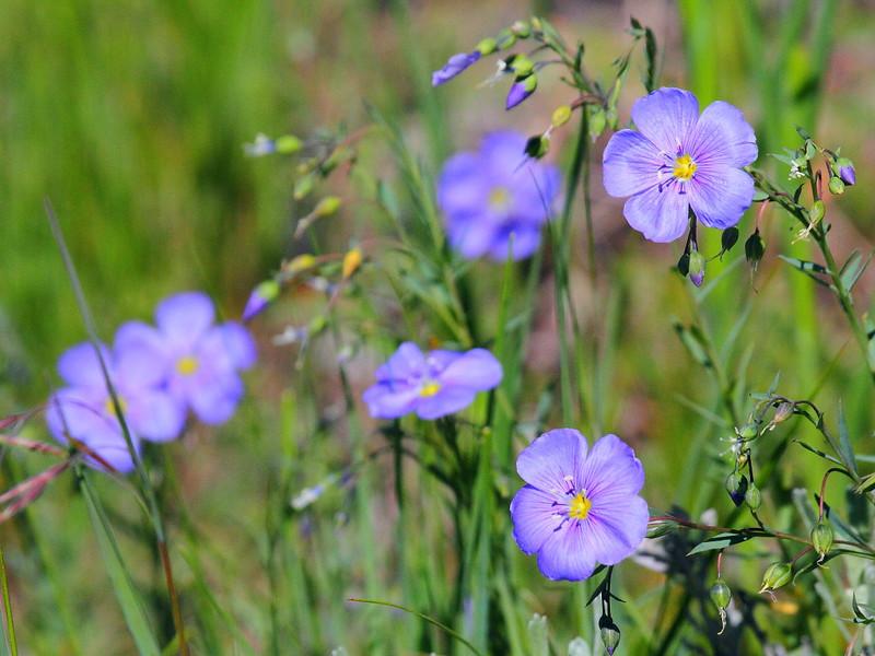 IMG_6457 Blue Flax (Linum lewisii)