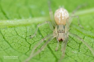 Sac spider (Cheiracanthium cf. leucophaeum) - DSC_6901