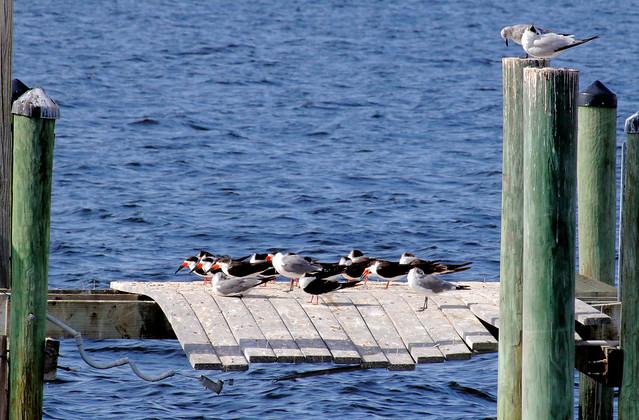 Irma's Legacy -- Wrecked Pier, Black Skimmers (Rynchops niger); Punta Gorda, FL, Gilchrist Park [Lou Feltz]a