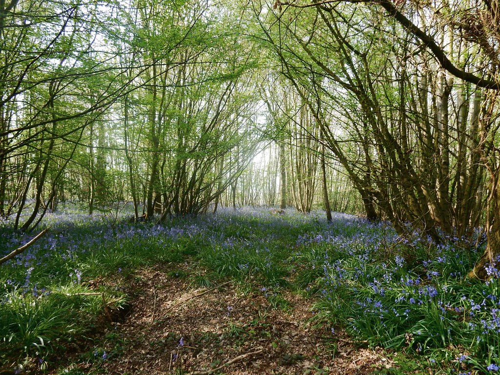 Bluebells Bekesbourne to Sturry