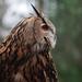 EagleOwl_P4040537