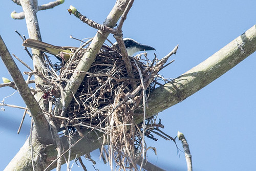 Boat-billed Flycatcher on nest
