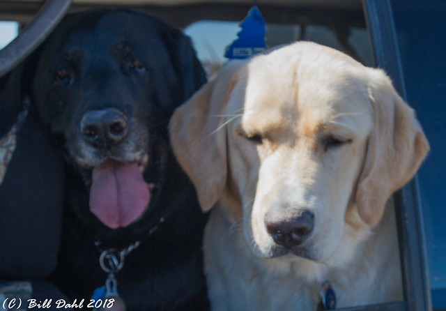Our Labs - Reno n Reggie