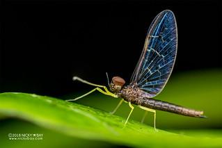 Mayfly (Baetidae) - DSC_7108
