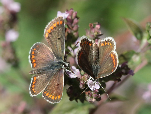 Brown argus butterflies