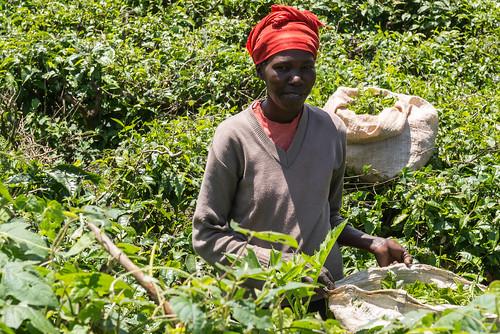 africa kenya kericho