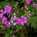 Scotland's Gardens Craigintinney Telferton July 2018 -143