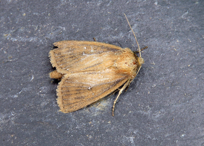 73.139 Twin-spotted Wainscot - Lenisa geminipuncta