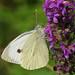 IMGP4845c Small White, Gamlingay Wood, July 2018
