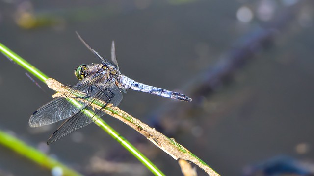 Dragonfly - 5672