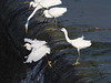 Photo:Little egrets (コサギ) and a great egret (ダイサギ) By Greg Peterson in Japan