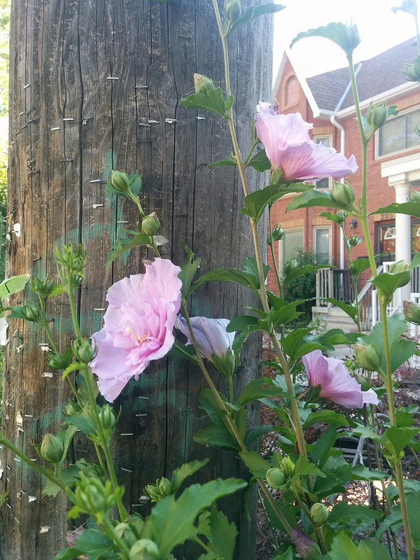 Hollyhock by the pole #toronto #highparknorth #flowers #pink #hollyhock #pacificave