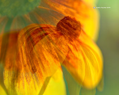 Cone Flower6534-50IN