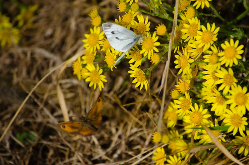 Two types of butterfly on ragwort flower