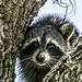 Racoon 2 (1 of 1) by andrewroberts206