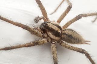 _MG_0995 huntsman spider?