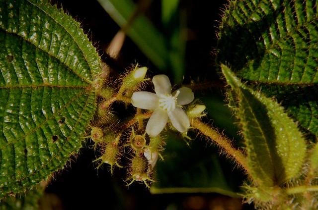 Melastomaceae Cidemia hirta (L).D. Dom.