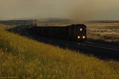 Walking in Fields of Gold(enrod) - Keeline, WY