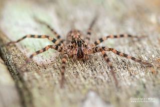 Wandering spider (Vulsor sp.) - DSC_6702