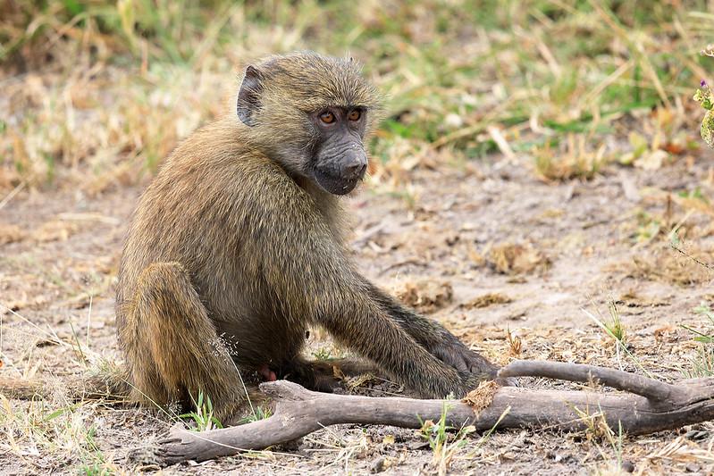 Olive baboon juvenile