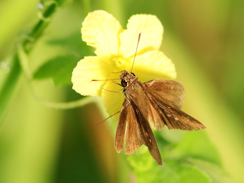Skipper - Three Spotted possible 20180808