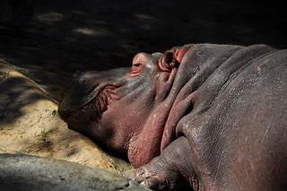 Sleepapotamus