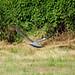 Woodpigeon flying, 2018 Jul 19