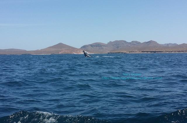 Humpback whale BREACH La Paz Mexico