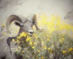 Ram Head in Yellow Flowers