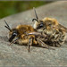 Colletes cunicularius? by Ed Phillips 01