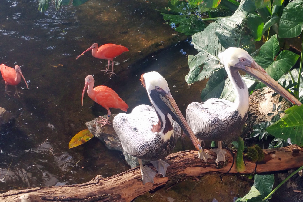 flamingos-pelicans