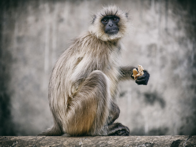 Hanuman Monkey | The Monkey Temple, Jaipur, India
