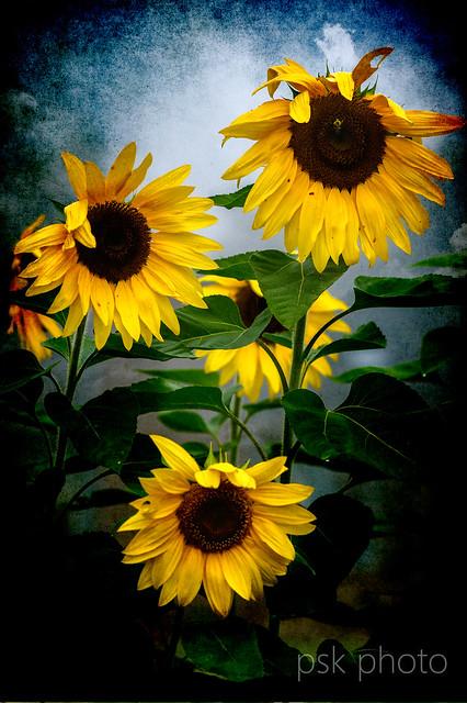 Sunflowers, RICOH PENTAX K-3, smc PENTAX-D FA Macro 100mm F2.8 WR