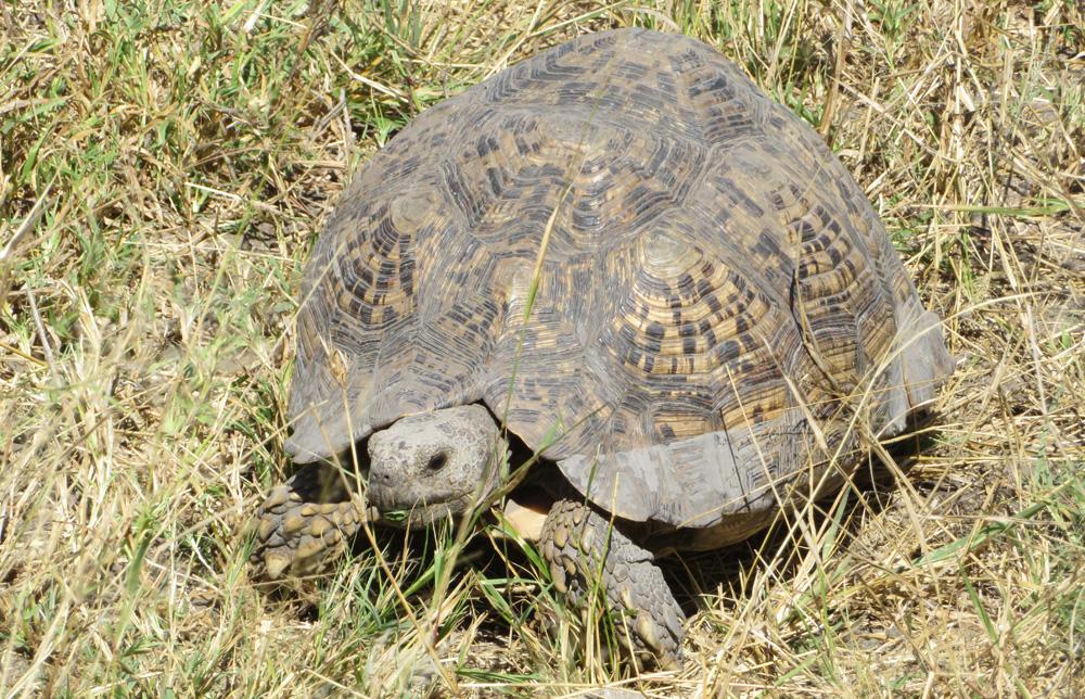 leopard-tortoise-chobe