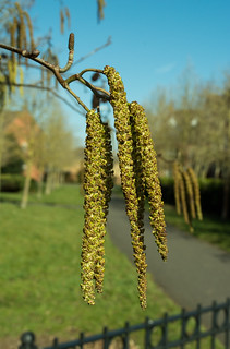 20180326-13_Catkins by the Bridle Path - Cawston