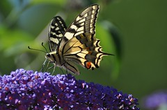 Papilio machaon - Old World Swallowtail - Le Machaon ou Grand porte-queue - 25/06/18