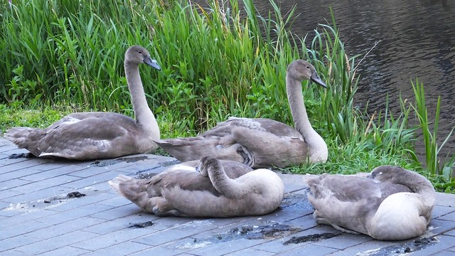 The Swan Family 010