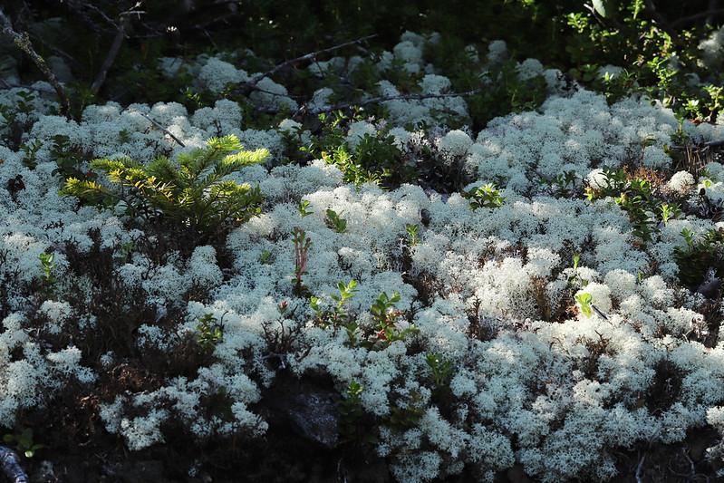 Cladonia stellaris  ミヤマハナゴケ