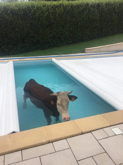 Cow pool party