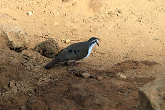 Tambourine dove
