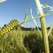 Swallowtail Butterfly caterpillar by Benjamin Joseph Andrew